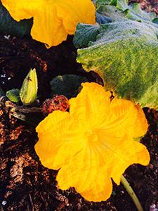 pumpkin-flowerssm